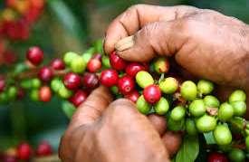 Federación cambia fórmula para compra de café a los productores